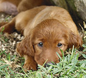 Irish setter puppy in the grass. Two months old pure breed red irish setter puppy laying in the grass looking very cute royalty free stock image