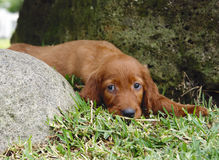 Irish setter puppy in the grass. Two months old pure breed red irish setter puppy laying in the grass and looking cute royalty free stock photography