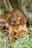 Irish setter puppy laying down. Two months old pure breed red irish setter puppy laying down and looking rather serious stock image