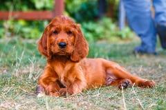 Irish setter. Puppy of irish setter laying with wooden bone stock photo