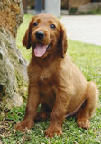 Irish setter puppy sitting. Two months old pure breed red irish setter puppies posing in a row stock image