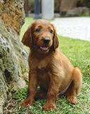 Irish setter puppy sitting. Two months old pure breed red irish setter puppy sitting next to a rock royalty free stock photography
