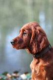 Irish Setter puppy Royalty Free Stock Photography