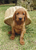 Irish setter puppy under a basket. Two months old pure breed red irish setter puppy hiding under a basket stock photography