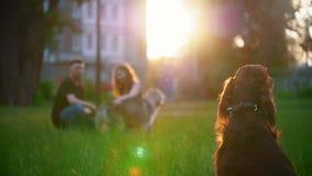 Irish Setter que se sienta en la hierba delante de los pares que juegan con su perro almacen de video