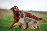 Irish setter. Red irish setter and briard Royalty Free Stock Photo