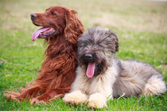 Irish setter. Red irish setter and briard Stock Images