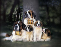 St-bernard family Royalty Free Stock Photos