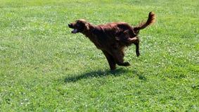 Irish Setter running on grass Stock Photo