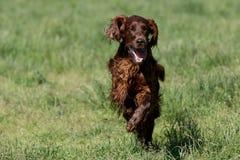 Irish Setter running on grass at park,selective focus on the dog Stock Photo