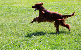 Irish Setter running on grass at park Royalty Free Stock Photos