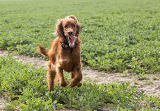 Irish setter running 1 Stock Photo