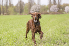 Irish setter running Stock Photography