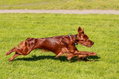 Irish Setter running Stock Photos