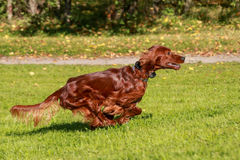 Irish Setter running Royalty Free Stock Image