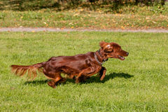 Irish Setter running Stock Photo