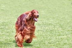 Irish setter runs across a green field. Royalty Free Stock Photography