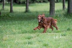 Irish setter runs across the green  field Stock Image