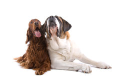 Irish Setter and Saint Bernard Stock Photo