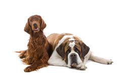 Irish Setter and Saint Bernard Stock Photos