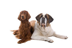 Irish Setter and Saint Bernard Royalty Free Stock Photo