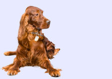 The Irish Setter seat. Royalty Free Stock Photography