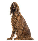 Irish Setter sitting, panting, isolated Stock Images