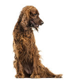 Irish Setter sitting, panting, isolated Royalty Free Stock Photography