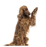 Irish Setter sitting, pawing up, isolated Royalty Free Stock Photo