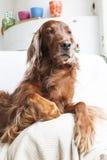 Irish Setter on sofa looking aside Royalty Free Stock Image