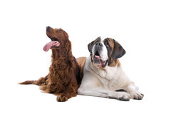 Irish setter and St. Bernard Royalty Free Stock Photos