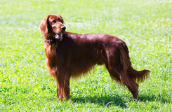 Irish Setter standing on grass Royalty Free Stock Image