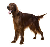 Irish Setter. Standing male Irish Setter, isolated on white Royalty Free Stock Images