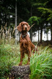 Irish Setter standing in the meadow with forest. Irish Setter standing in the meadow with green forest background Stock Photos