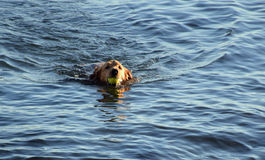 Irish Setter swimming in ocean with ball in mouth. Royalty Free Stock Images