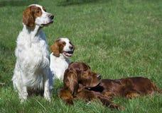 Irish setter trio stock image