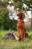 irish setter with trophies Stock Photography