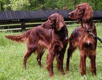Irish Setter. Two Irish setter dogs looking awry royalty free stock photos