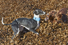 Irish Setter and whippet playing in autumn leaves Royalty Free Stock Photos
