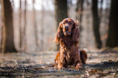 Irish setter. In winter time Stock Photos