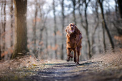 Irish setter. In winter time Royalty Free Stock Photo