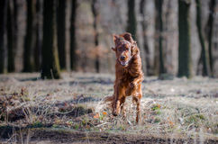 Irish setter. In winter time Royalty Free Stock Image