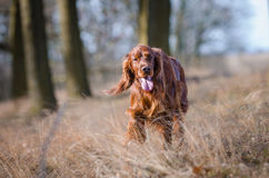 Irish setter. In winter time Stock Images