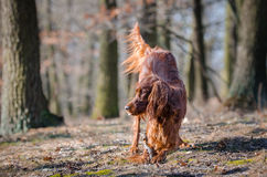 Irish setter. In winter time Stock Photography