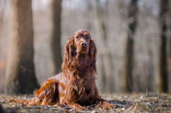 Irish setter. In winter time Stock Photo