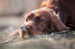Irish setter. In winter time Stock Image
