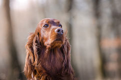 Irish setter. In winter time Royalty Free Stock Photos