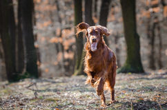 Irish setter. In winter time royalty free stock images