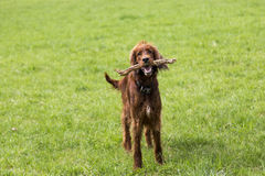 Irish setter wood Royalty Free Stock Image