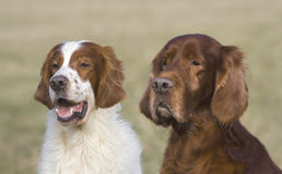 Irish setters Royalty Free Stock Image
